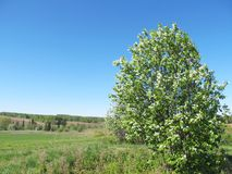 Flores de cerezo en el campo Naturaleza rusa Fondo del resorte foto de archivo libre de regalías