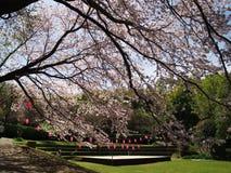 Flores de cerezo en el castillo de Arai de las ruinas Fotografía de archivo libre de regalías