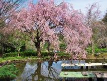Flores de cerezo en el castillo de Arai de las ruinas Foto de archivo