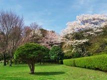 Flores de cerezo en el castillo de Ichiya de las ruinas Fotos de archivo libres de regalías