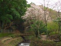 Flores de cerezo en el lago Matukawa Foto de archivo
