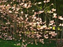 Flores de cerezo en el parque del castillo Fotos de archivo