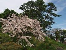 Flores de cerezo en el parque del castillo Imagen de archivo libre de regalías