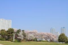 Flores de cerezo en el parque de Rinko y el alto condominio de la subida en Yokohama Minatomirai 21 fotografía de archivo libre de regalías