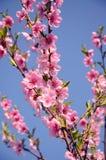 Flores de cerezo en fondo azul Imágenes de archivo libres de regalías