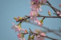Flores de cerezo en la plena floración, debajo de un azul magnífico limpio SK Foto de archivo