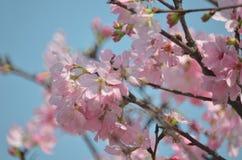 Flores de cerezo en la plena floración, debajo de un azul magnífico limpio SK Imagen de archivo