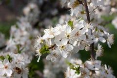 Flores de cerezo en la plena floración, en parque Foto de archivo libre de regalías