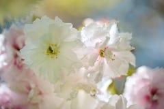 Flores de cerezo en primavera Foto de archivo libre de regalías