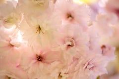 Flores de cerezo en primavera Imagen de archivo