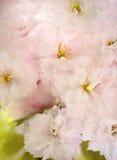 Flores de cerezo en primavera Imagenes de archivo