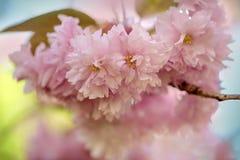 Flores de cerezo en primavera Foto de archivo