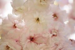 Flores de cerezo en primavera Fotos de archivo libres de regalías