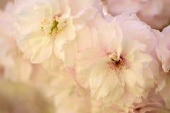 Flores de cerezo en primavera Imágenes de archivo libres de regalías