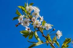 Flores de cerezo en primavera en un fondo azul Imágenes de archivo libres de regalías