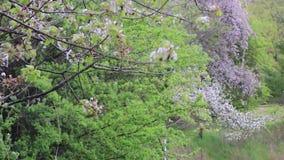 Flores de cerezo en un árbol almacen de metraje de vídeo