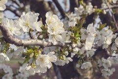 Flores de cerezo en un día de primavera Imagenes de archivo