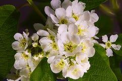 Flores de cerezo florecientes del pájaro en la primavera imagen de archivo libre de regalías