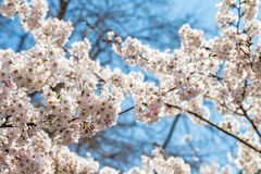 Flores de cerezo florecientes en el parque de Zhongshan en la primavera, Qingdao Imagen de archivo