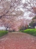 Flores de cerezo florecientes en Yokohama, Japón Imagen de archivo libre de regalías