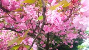 Flores de cerezo hermosas de la primavera, Londres, Inglaterra almacen de metraje de vídeo