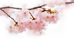 Flores de cerezo de la primavera, flores rosadas Fotografía de archivo
