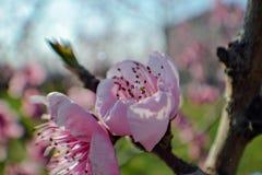 Flores de cerezo de la primavera, flores rosadas el primer detalla fotografía de la naturaleza Imágenes de archivo libres de regalías
