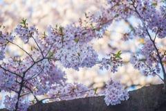 flores de cerezo Lleno-florecidas en Ueno ParkUeno Koen en el distrito de Ueno de Taito, Tokio, Japón Foco de Slective Imagen de archivo libre de regalías