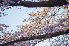 flores de cerezo Lleno-florecidas en Ueno ParkUeno Koen en el distrito de Ueno de Taito, Tokio, Japón Foco de Slective Imágenes de archivo libres de regalías