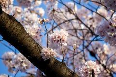 flores de cerezo Lleno-florecidas en Ueno ParkUeno Koen en el distrito de Ueno de Taito, Tokio, Japón Foco de Slective Foto de archivo