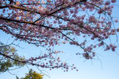 flores de cerezo Lleno-florecidas en Ueno ParkUeno Koen en el distrito de Ueno de Taito, Tokio, Japón Foco de Slective Fotografía de archivo