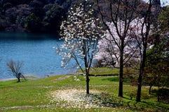 Flores de cerezo a lo largo del lago de la presa/de la primavera japonesa Foto de archivo libre de regalías