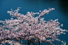 Flores de cerezo a lo largo del lago de la presa/de la primavera japonesa Imagen de archivo libre de regalías