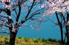 Flores de cerezo a lo largo del lago de la presa/de la primavera japonesa Fotos de archivo libres de regalías