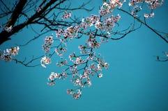 Flores de cerezo a lo largo del lago de la presa/de la primavera japonesa Fotografía de archivo