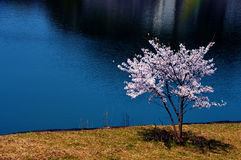Flores de cerezo a lo largo del lago de la presa/de la primavera japonesa Imagen de archivo