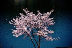 Flores de cerezo a lo largo del lago de la presa/de la primavera japonesa Imagenes de archivo