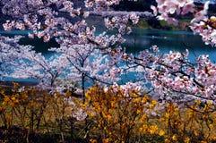 Flores de cerezo a lo largo del lago de la presa/de la primavera japonesa Imágenes de archivo libres de regalías