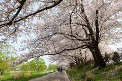 Flores de cerezo o Sakura en el parque de Tenshochi, ciudad de Kitakami, Iwat Fotos de archivo