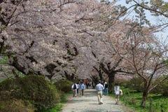Flores de cerezo o Sakura en el parque de Tenshochi, ciudad de Kitakami, Japón Imagen de archivo