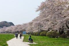 Flores de cerezo o Sakura en el parque de Tenshochi, ciudad de Kitakami, Japón Fotos de archivo