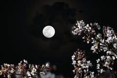 Flores de cerezo o Sakura en la plena floración debajo de la luna imagen de archivo libre de regalías