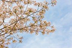 Flores de cerezo, pálidas - rosa, ligero y fresco fotografía de archivo