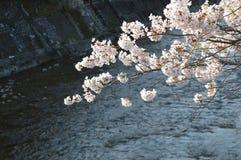 Flores de cerezo por el río Imagen de archivo libre de regalías