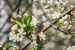 Flores de cerezo que crecen al aire libre debajo de un cielo azul soleado en una cama de flor en un jard?n estacional colorido fotos de archivo