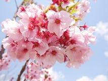 Flores de cerezo rosadas debajo del cielo azul y de las nubes blancas Foto de archivo libre de regalías