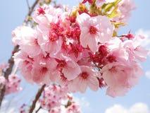 Flores de cerezo rosadas debajo del cielo azul y de las nubes blancas Imágenes de archivo libres de regalías