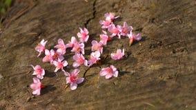 Flores de cerezo rosadas en el fondo de madera, foco bajo en midd Fotos de archivo