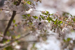 Flores de cerezo rosadas en la plena floración contra un cielo azul imagenes de archivo
