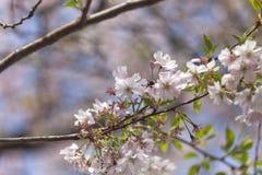 Flores de cerezo rosadas en la plena floración contra un cielo azul Imagen de archivo
